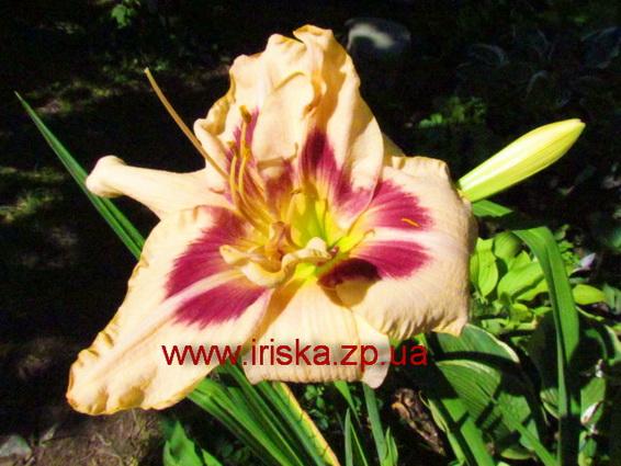 Фаталик цветок